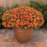 Campfire Flame Bidens in Front Porch Planter