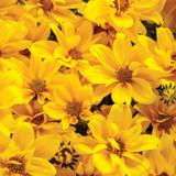 Goldilocks Rocks® Bidens Flowers Close Up