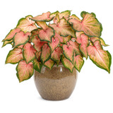Large Heart to Heart Chinook Caladium in Garden Planter