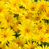Lady Godiva® Yellow English Marigold Flowers Close UP