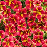 Superbells® Cardinal Star Calibrachoa Flowers and Foliage