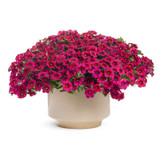 Superbells Cherry Red Calibrachoa in Garden Planter