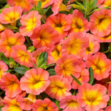 Superbells® Coral Sun Calibrachoa Flowers and Foliage