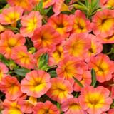 Superbells® Coral Sun Calibrachoa Flowers and Foliage