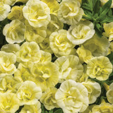 Superbells® Double Chiffon Calibrachoa flowers closeup