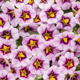 Superbells® Morning Star™ Calibrachoa Flowers