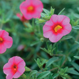 Superbells® Pink Calibrachoa Flowers and Foliage