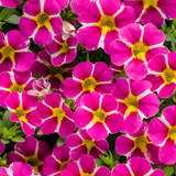 Superbells® Rising Star Calibrachoa Flowers and Foliage