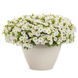 Superbells TableTop™ White Calibrachoa In a white pot