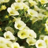 Superbells Yellow Chiffon Calibrachoa Flowers and Foliage