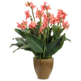 Toucan® Coral Canna Lily Plant in Garden Planter