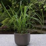 Lemongrass Plant Growing in Patio Planter