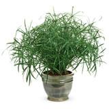 Graceful Grasses® Baby Tut® Umbrella Grass in Indoor Pot