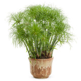 Graceful Grasses® Prince Tut Dwarf Egyptian Papyrus in Decorative Pot
