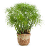 Graceful Grasses® Prince Tut Dwarf Egyptian Papyrus in Decorative Pot