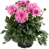 Dalina® Grande Cozumel Dahlia Plant Flowers and Foliage