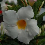 Sundenia® White Dipladenia Flowers