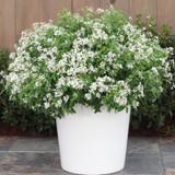 Diamond Snow® Euphorbia in Garden Planter Blooming