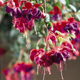 Fuchsia Dark Eyes Flowers