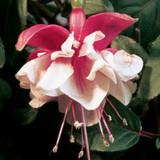 Fuchsia Swingtime Flower Close up