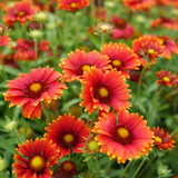 Heat it Up® Scarlet Blanket Flower Blooms and Foliage