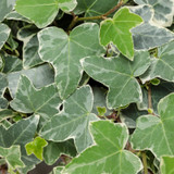 Proven Accents® Glacier Ivy Variegated Foliage