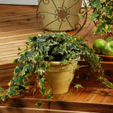 Proven Accents® Yellow Ripple Ivy spilling in patio planter
