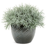 Proven Accents® Icicles Licorice Plant in Garden Planter