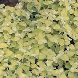 Lemon Licorice Plant Foliage