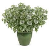 Hippo® White Polka Dot Plant in Garden Planter