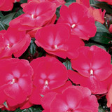 Infinity® Cherry Red Impatiens Flowers and Foliage