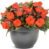 Infinity Orange Impatiens Flowering in Garden Planter