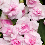 Rockapulco® Appleblossom Impatiens Flowers and Foliage Close Up