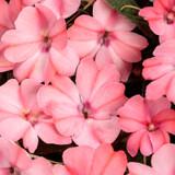 SunPatiens® Compact Blush Pink Impatiens Flowers