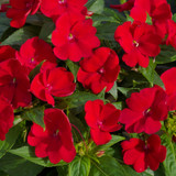 SunPatiens® Compact Fire Red Impatiens Flowers and Foliage