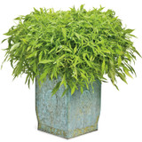 Emerald Lace Sweet Potato Vine in Decorative Pot