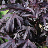 Illusion® Midnight Lace Sweet Potato Vine Foliage