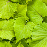 Sweet Caroline Bewitched Green with Envy Sweet Potato Vine Foliage