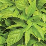 Sweet Caroline Kiwi Sweet Potato Vine Foliage