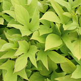 Sweet Caroline Light Green Sweet Potato Vine Foliage