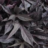 Sweet Caroline Raven Sweet Potato Vine Foliage