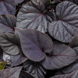 Sweet Caroline Sweetheart Jet Black Sweet Potato Vine Foliage