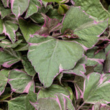 Proven Accents® Tricolor Sweet Potato Vine Foliage