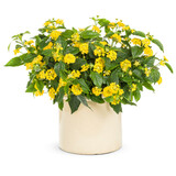 Luscious Bananarama Lantana Plant Flowering in Garden Planter