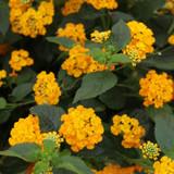 Luscious® Goldengate Lantana Flowers and Foliage