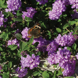 Luscious® Grape Lantana with butterfly on the bloom