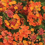 Luscious® Marmalade Lantana Flowers and Foliage