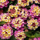 Luscious® Pinkberry Blend Lantana Foliage and Flowers