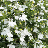 Laguna White Lobelia Flowers and Foliage Close Up