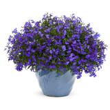 Laguna® Dark Blue Lobelia in garden planter